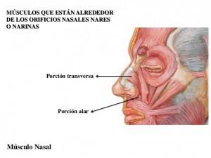 Porção alar e transveresaldo músculo nasal (imagem disponível na internet)